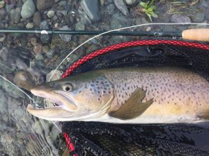 Brown, trout, high country, Lake, NZ